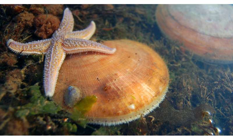 Reading the genetic signature of the sea scallop