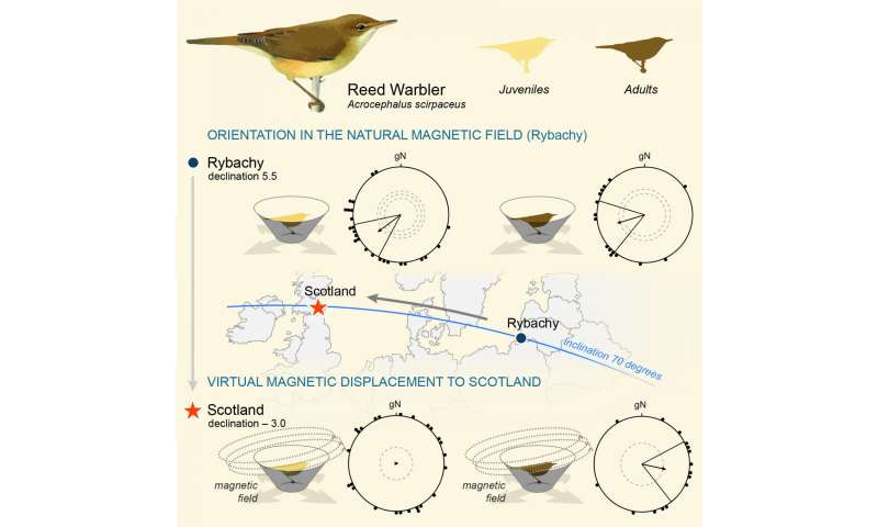 Reed warblers have a sense for magnetic declination