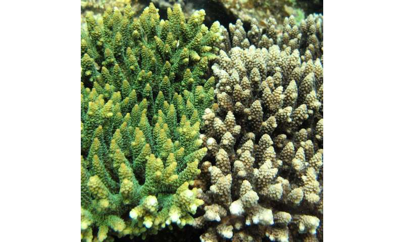 Regular coral larvae supply from neighboring reefs helps degraded reefs recover