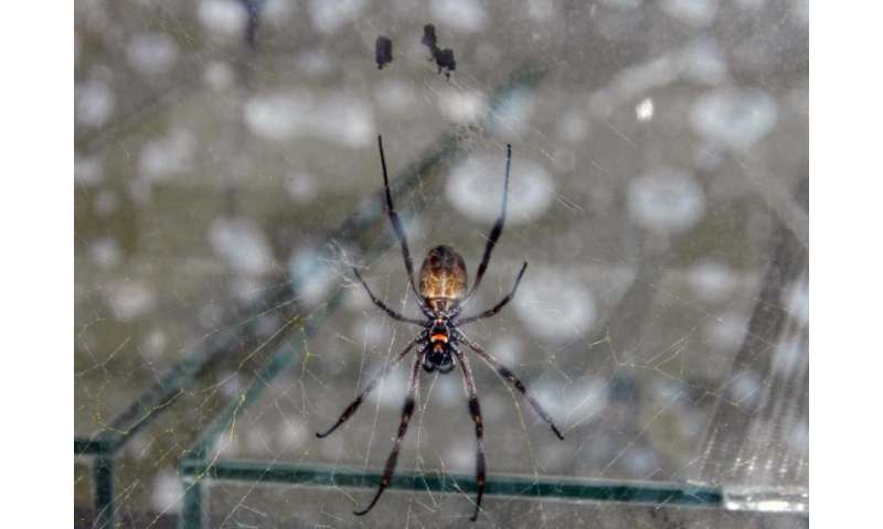 Repairing damaged nerves and tissue with spider threads