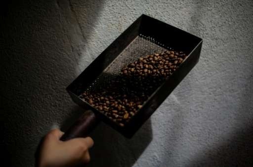 Robusta coffee comes from the Coffea canephora plant, which is being increasingly planted in the Nicaragua under government auth