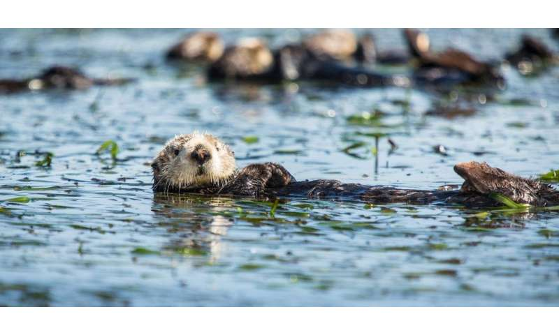 Robust jaws and crushing bites allow sea otters to specialize their diets