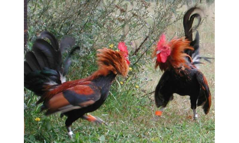 Roosters are nicer to their relatives than to other males