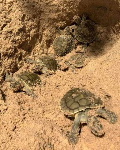 Royal turtle hatchlings in a nest at the Kaong River in Cambodia's Koh Kong province