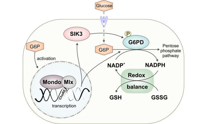 Safe utilisation of dietary sugars requires dynamic control of redox balance