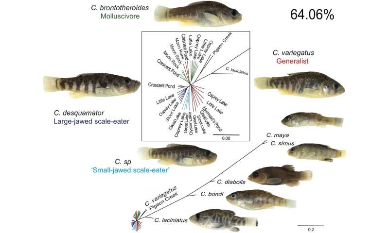 San Salvador pupfish acquired genetic variation from island fish to eat new foods