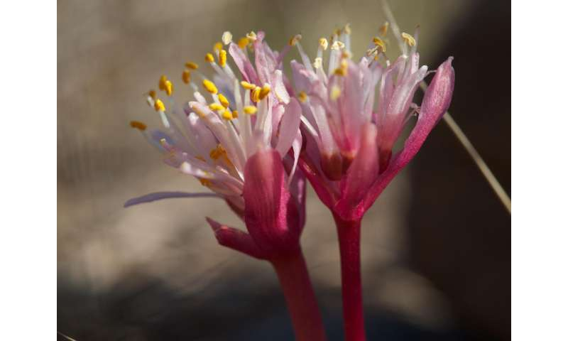 Saving the paintbrush lily from extinction