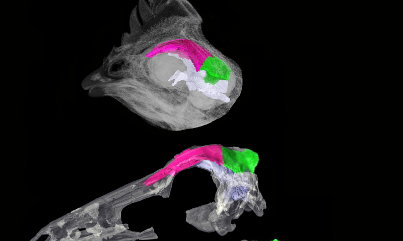 Scientists track the brain-skull transition from dinosaurs to birds