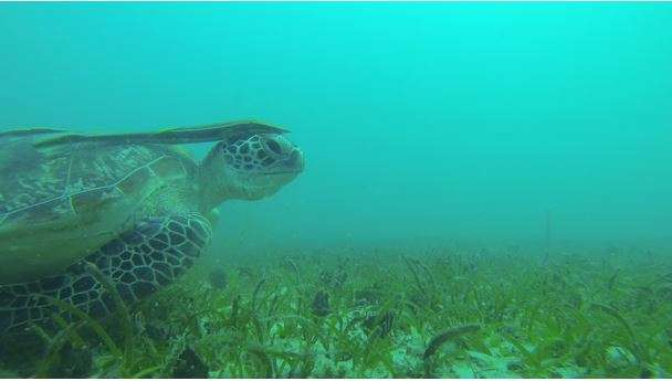 Seagrass meadows—critical habitats for juvenile fish and dugongs in the Johor islands