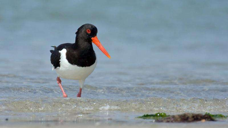Sea level rise may drive coastal nesting birds to extinction