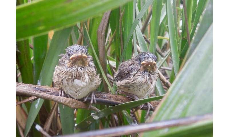 Seaside sparrows caught between predators and rising seas