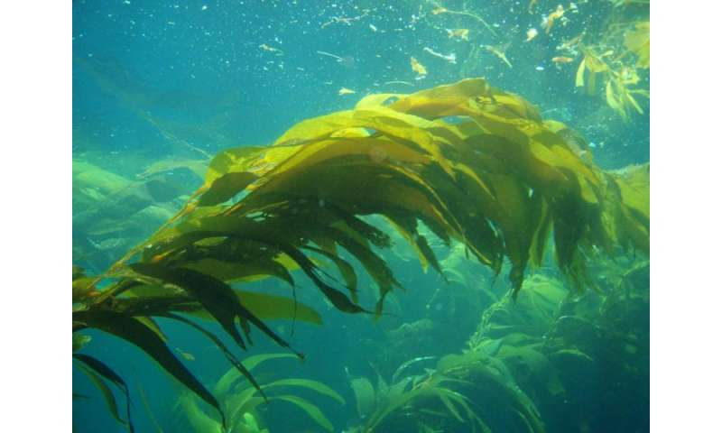 Seaweed-fueled cars? Maybe one day, with help of new tech
