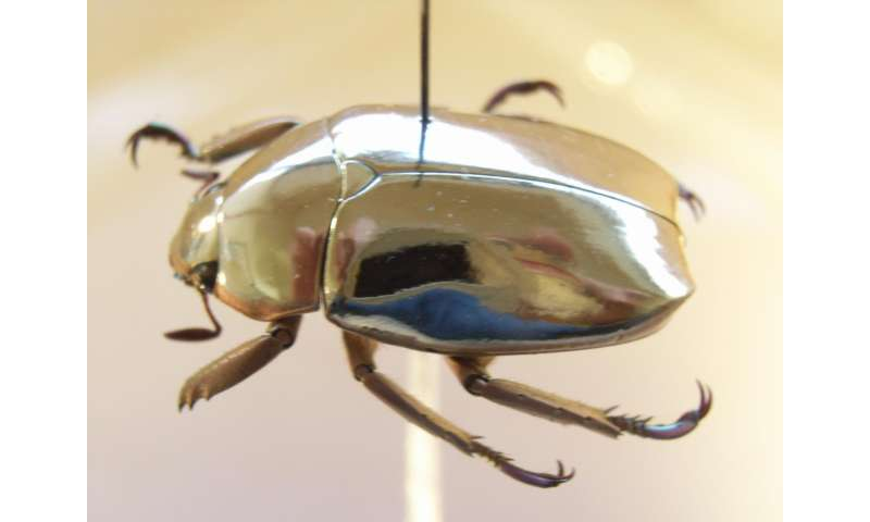 Secret of why jewel scarab beetles look like pure gold, explained by physicists