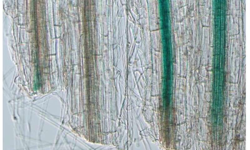 Secrets of Bonsai: Uncovering the mechanism of root regeneration