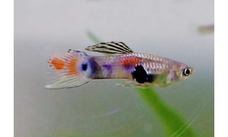 Sexual harassment in the fish world—male guppies suffer most