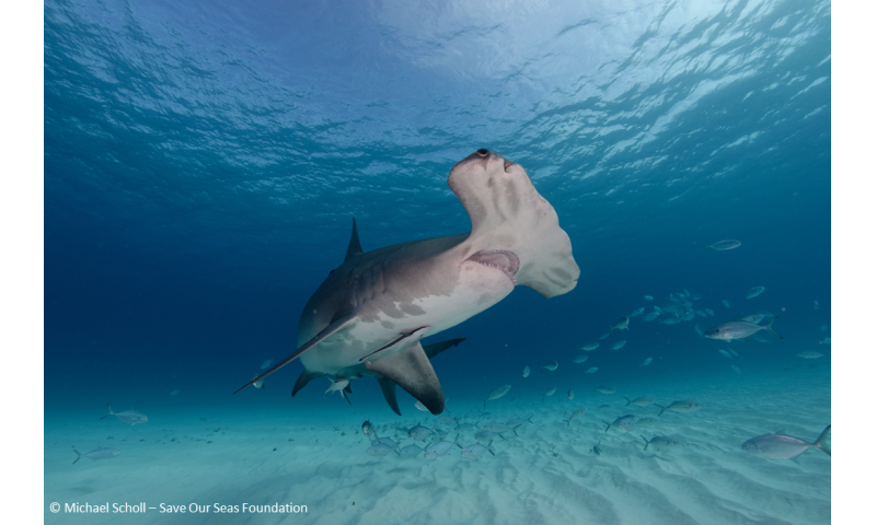 Sharks show novel changes in their immune cancer-related genes