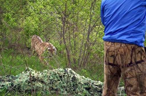 Siberian tiger that terrified Vladivostok gets new wild home