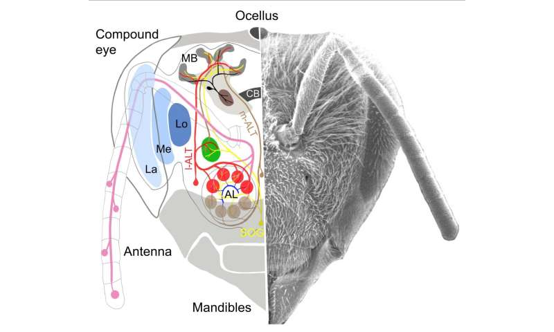 Simulated honeybees can use simple brain circuits for complex learning