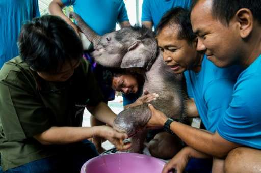 Six-month-old elephant 'Clear Sky' gets her injured foot treated by vet Padet Siridumrong (L) after a hydrotherapy session at a
