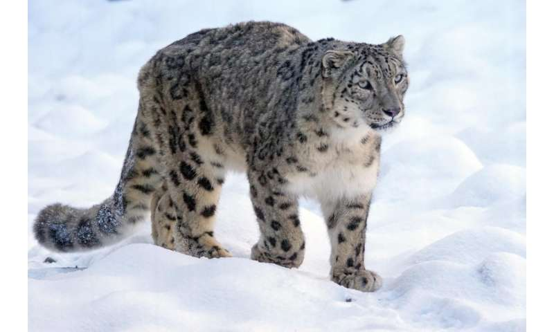 Three new sub-species of snow leopard discovered