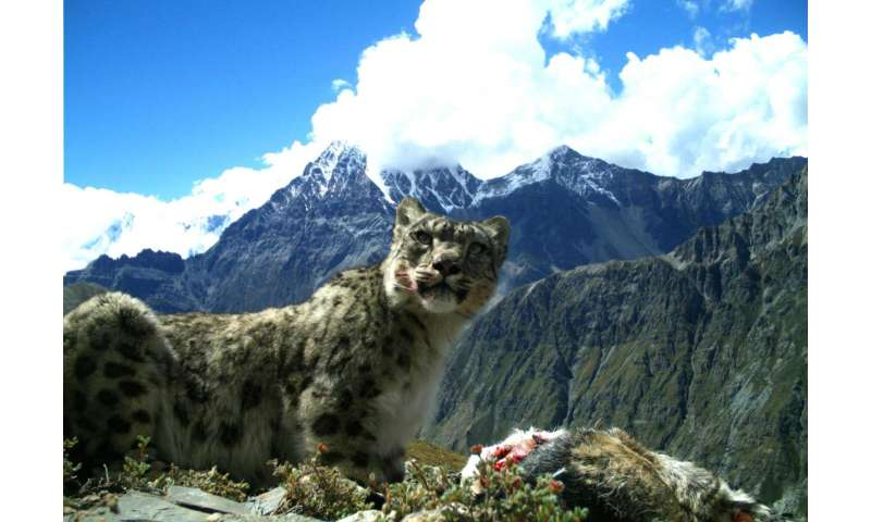 Snow leopard and Himalayan wolf diets are about one-quarter livestock