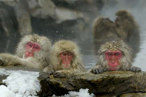 Snow monkeys are known in Japan as Nihonzaru