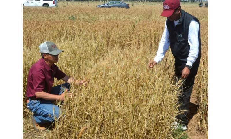 Soil water storage, new varieties critical to wheat production