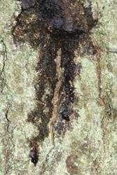 Solving how a complex disease threatens oak trees