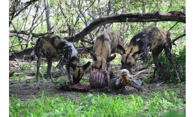 Something to sneeze about: Democratic voting in African wild dog packs