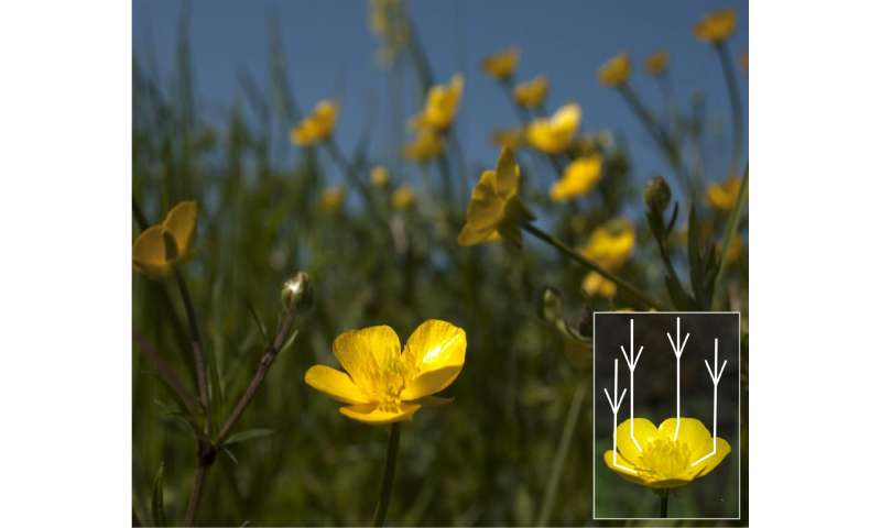 Sophisticated optical secrets revealed in glossy buttercup flowers