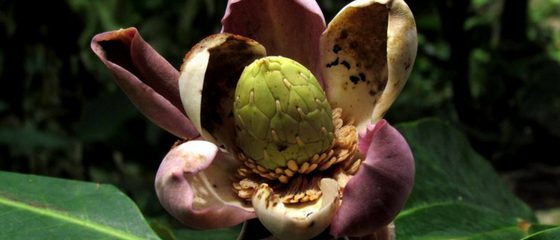 Sowing the seeds of hope for critically endangered magnolia tree