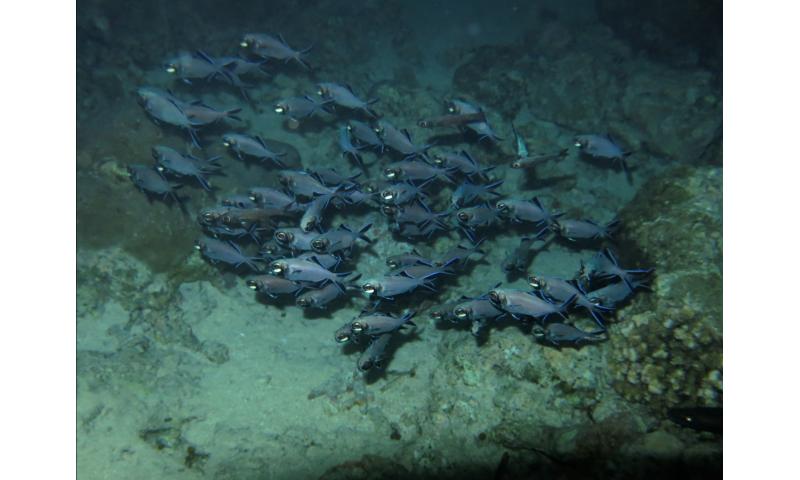 Splitfin flashlight fish uses bioluminescent light to illuminate plankton