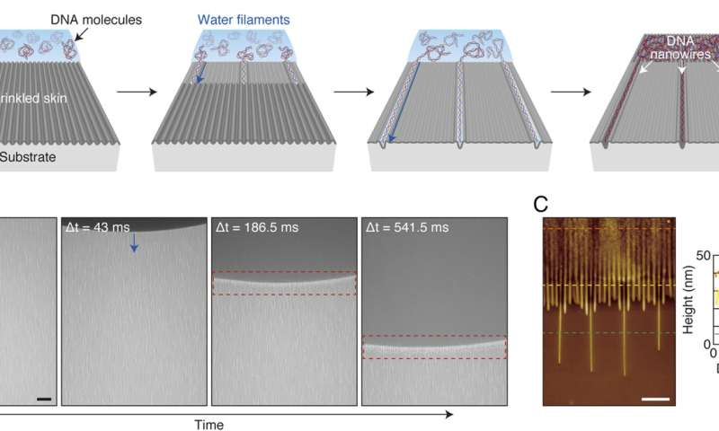 Spontaneous formation of aligned DNA nanowires