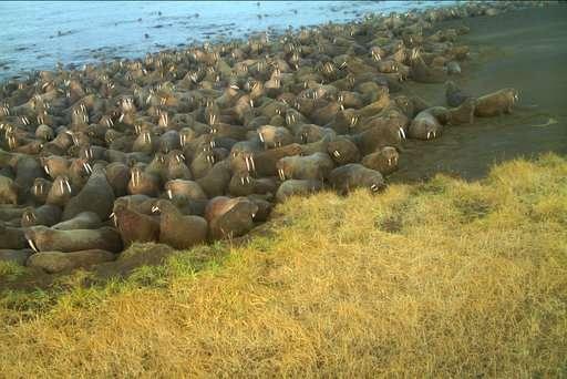 Stampede suspected in dozens of walrus death