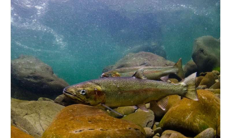Steelhead trout population declines linked with poor survival of young fish in the ocean