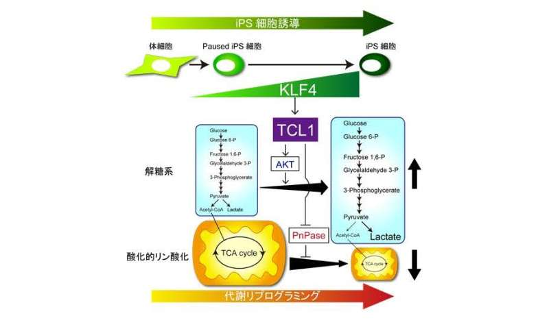 Stem cell reprogramming factor controls change in cellular energy generation