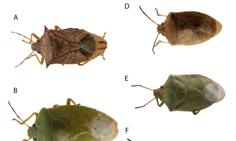 Stink bugs: Free guide for agricultural integrated pest management
