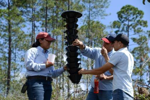 Students of the Forest Sciences University (ESNACIFOR) place bark beetle traps after the woods had to be cut down to stop its ad