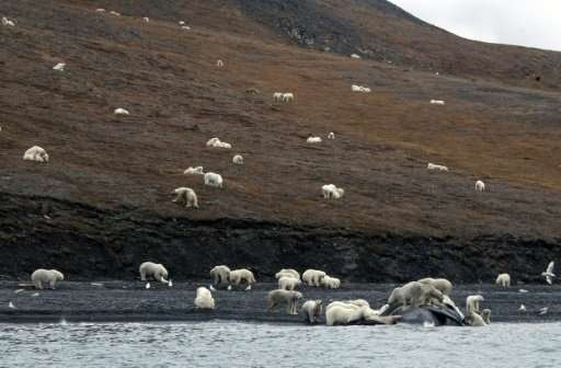 Studies show that polar bears now spend longer on Wrangel Island, in the far eastern Russian Arctic, than 20 years ago because &