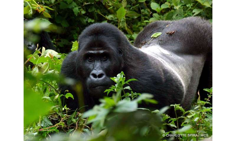 Study finds Congo's miners often resort to hunting wildlife for food
