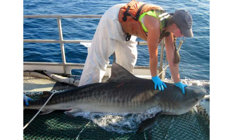 Study finds preliminary recovery of coastal sharks in southeast US