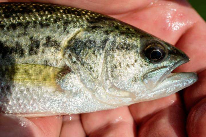 Study links fish stress hormones to whether they take the bait