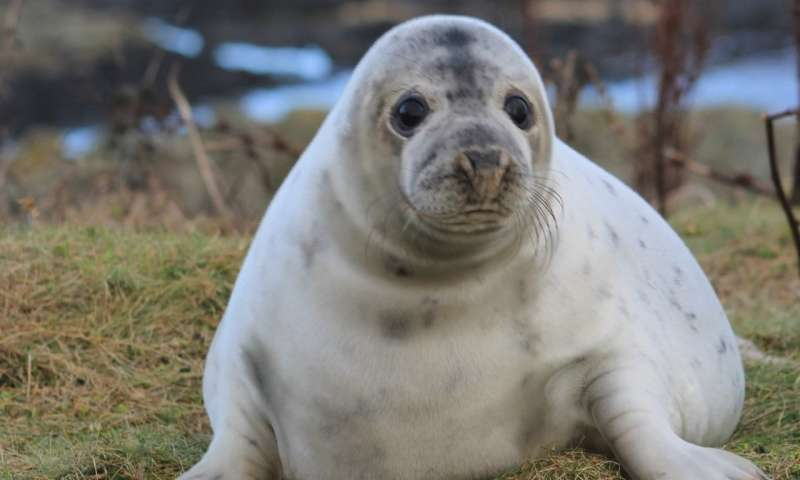 Study offers detailed insight into early-life behavior of grey seal pups at sea