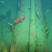 Subsea pipelines make fish safe havens