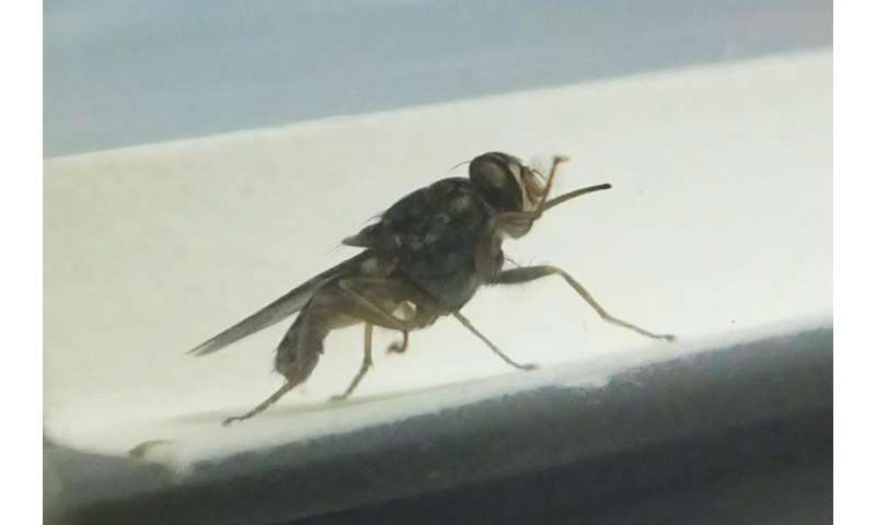 Surprising discovery -- how the African tsetse fly really drinks your blood