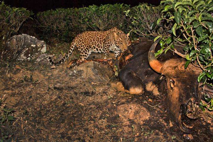 Tea-time means leopard-time in India