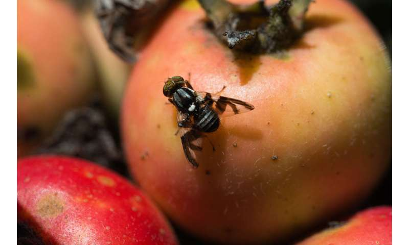 The apple maggot fly -- how an altered sense of smell could drive the formation of new species