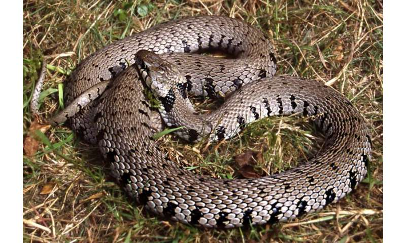 The Barred Grass Snake is described as a separate species