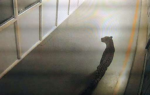 The big cat was spotted on Thursday on CCTV by guards at Maruti Suzuki's manufacturing plant in the town of Manesar, just 24 mil