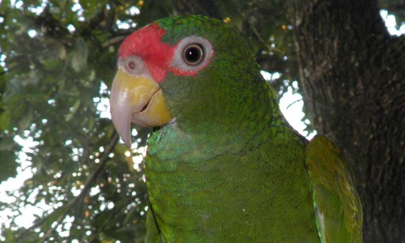 The Blue-winged Amazon: A new parrot species from the Yucatán Peninsula